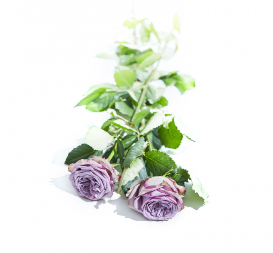 Vip Roses Dolcetto